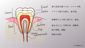 つるみ矯正歯科 歯の構造